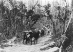 George Stanaway's Bullock Team about 1898 - Colleen Stanaway Collection