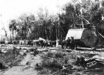 Halling Kauri Logs George's bullock team about 1898 - Colleen Stanaway Collection.